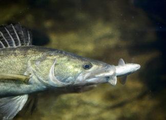 az év hala süllő