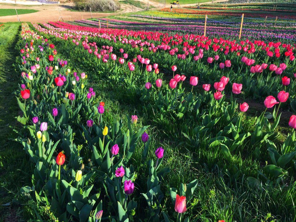 tulipán ültetvény tulipánk virágok szedd magad tulipánszüret