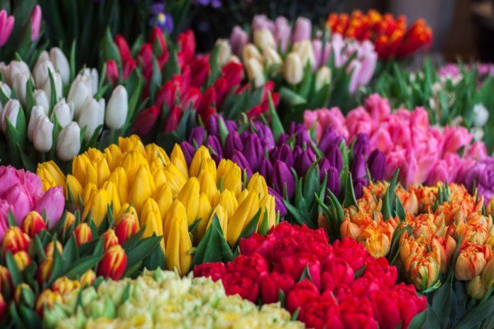 tulipánszüret kőröshegyi levendulás
