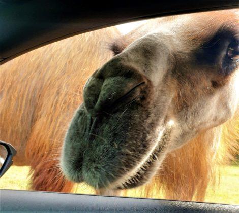 sfaraipark szada teve benéz az ablakon