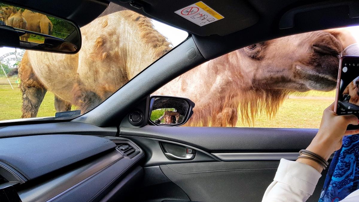 autós szafaripark szada autóba kukucskáló teve