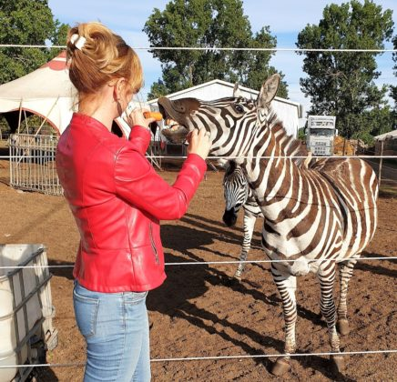 safari park szada zebraetetés