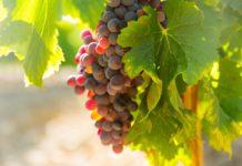 borászat szőlészet bopince