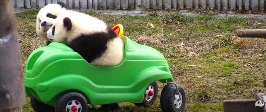 Panda kölyök